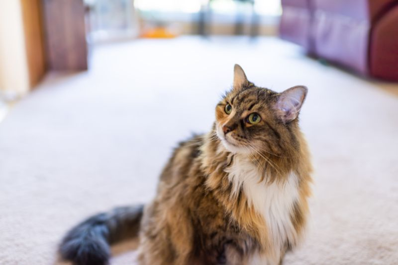 An aging Maine Coon cat sits on a living room carpet
