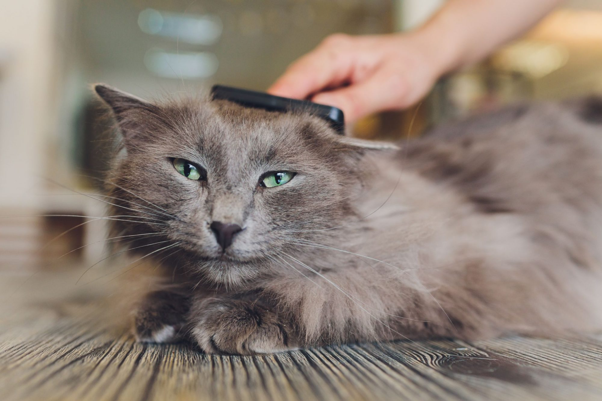 A long-haired cat getting brushed.
